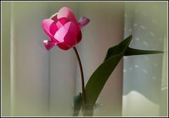 Eleganz (Fay2603) Tags: pink light shadow plant flower licht blossom background pflanze rosa indoor frame tulip grn blume blatt blte schatten bltenbltter rahmen tulpe pastell hintergrund bilderrahmen zartrosa lindgrn heiter fotorahmen zartgrn