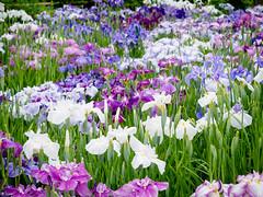 Violets (H.H. Mahal Alysheba) Tags: iris flower japan garden lumix tokyo lumixg gx7 45175mmf4056