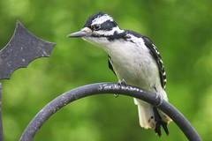 Hairy Woodpecker (Moschell) Tags: nature birds spring backyard woodpecker wildlife may handheld local in 2016 moschell