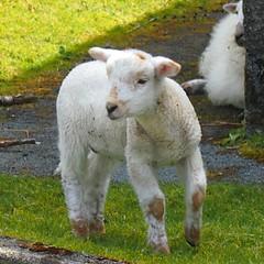 I've got my eye on ewe.. (slingpool) Tags: uk white wool wales spring sheep coat lamb woolly