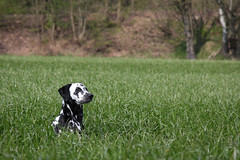 Angie (blumenbiene) Tags: dog white playing black game dogs female walking fun weide meadow wiese hund schwarz dalmatian hunde spaziergang spielen dalmatiner weis hndin