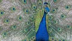 Beautiful eyes (ColognePhotograph) Tags: blue green colors animal photography zoo photo eyes stockholm peacock grn blau skansen tierpark photoart farben swede pfau colognephotograph
