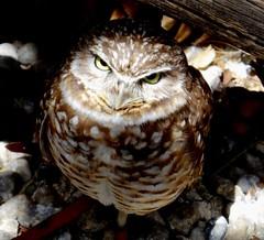 The burrowing owl (EcoSnake) Tags: sunshine birds spring wildlife may owls burrowingowl naturecenter idahofishandgame