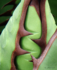 Agave Wrap (VenturaMermaid) Tags: plant macro green ouch succulent highcontrast botanic agave spines hmm zigzag justleaves macromondays wrappedtight leafmargins