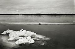 dropped (MZ163) Tags: bw film ice monochrome river spring russia volga ravens samara fujiacros leicar4