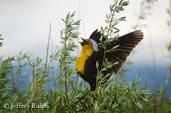 marsh3 (ralphsplitter) Tags: county black bird nature yellow centennial idaho marsh headed camas