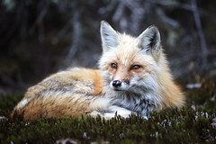 A Moment Of Peace (Megan Lorenz) Tags: wild ontario canada nature animal mammal wildlife fox algonquin wildanimals redfox algonquinprovincialpark mlorenz meganlorenz