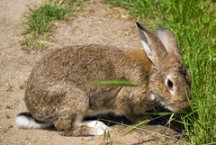 Lunch time (zsolesz_93) Tags: bunny nyl kaninchen green animal eating outside rabbit