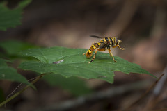 Hoverfly Revisited - 061616-092344 (Glenn Anderson.) Tags: hover fly macro close up bright depth field animal d750 yellow wings flight nature insect outdoor
