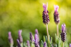 Quelques brins de lavande (S@ndrine Nel) Tags: green yellow closeup jaune spring dof purple blossom bokeh violet lavender vert depthoffield bloom provence lavande pdc profondeurdechamp nelsandrine