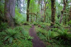 Into the Hoh rainforest (rubenparra78) Tags: fern green landscape washington moss pacificnorthwest olympicnationalpark hohrainforest