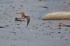Courlis cendr (ijmd) Tags: bird oiseau france bretagne ledebatz