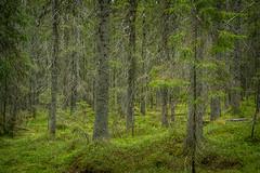 Boreal Forest, Sweden (Old-Man-George) Tags: trees forest woodland coast nationalpark high europe sweden nordic scandinavia skuleskogen highcoast wwwgeorgewheelhousecom georgewheelhouse d882103
