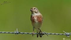 Pardillo (I. Alberdi Ezpeleta) Tags: eurasianlinnet cardueliscannabina pardillo bluthnfling linottemlodieuse fanello passerellcom txokaarrunt liaceirocomn