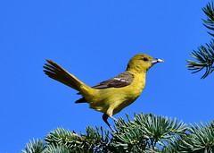 Pine Warbler (Photos By JM) Tags: highpark