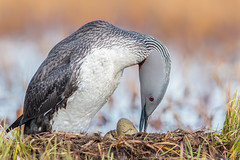 Sunny side up! (Khurram Khan...) Tags: redthroatedloon loon arctic breeding migration migratingbirds ilovenature ilovewildlife iamnikon barrow wwwkhurramkhanphotocom naturephotography naturephotos ngc