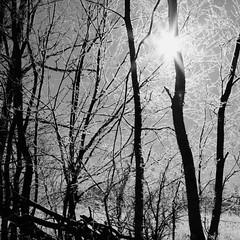 From this morning, after taking Kiah to the vet.  #puremittigan#puremichigan#michigan#miwildlife#landscape#tree_silhouette#bnw_captures#bnw#bnw_society#blacknwhite#blackandwhite#wwnk_memb#ww_nature_trees#ww_nature_rayofsunshine#january#winter#wildlifephot (garretthoffmaster) Tags: trees winter blackandwhite ice monochrome landscape frost michigan wintertime bnw morningfrost instagramapp