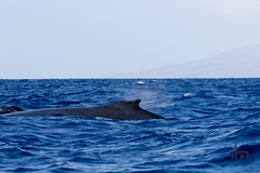 Humpback Surfacing for Air (thephantomhennes) Tags: animals hawaii ultimate watch maui whale hennes humpback 100400
