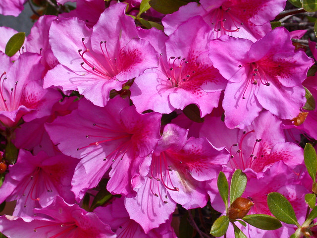 Azaleas - This is the Masters Week - CP995DSCN1990_123