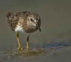 Razor Thin (Canter Photography) Tags: bird nature nikon wildlife sandpiper shorebird 600mmf4 14teleconverter nikond3s