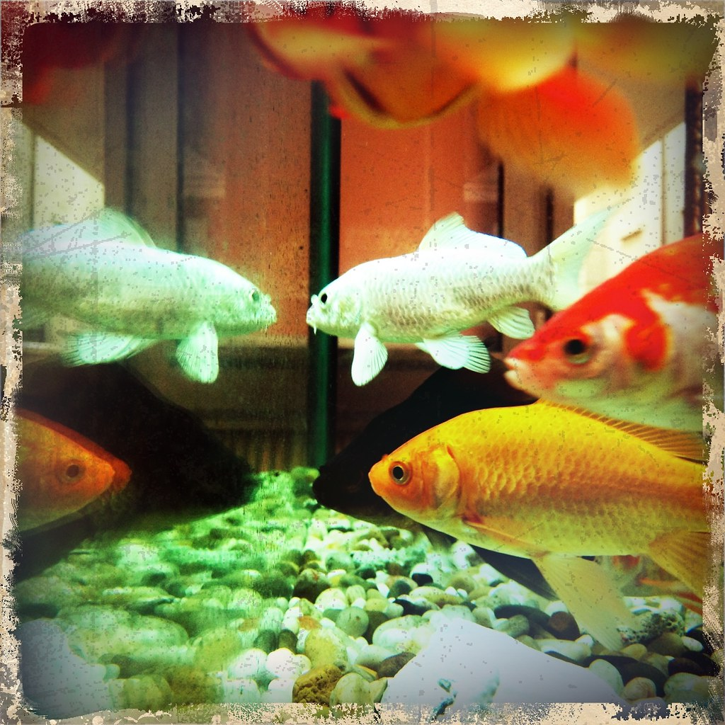 The World\'s Best Photos of goldfish and hue - Flickr Hive Mind