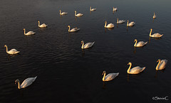 Sunset Swans (StevieC-Photography) Tags: sunset water canon swans irvine muteswan ayrshire cygnusolor steviec