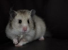 My Pet hamster - gaga (Wang Guowen (gw.wang)) Tags: hamster gaga sb700