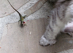 Tootsie and the lizard- part 3 of 3- full story of predator prey (valleygirl_tka) Tags: lizard mainecoon anole polydactyl polydactylcat tootsie animalbehavior carolinaanole aposematiccoloration aposematic thumbcat mainecoonpolydactyl polydactylthumb polydactylmainecoon polypaws silverpatchedtabby anoliscarolinesus