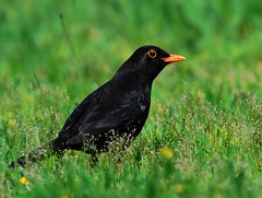Melro-preto / Common Blackbird (anacm.silva) Tags: wild bird portugal nature birds nikon wildlife natureza aves ave turdusmerula vidaselvagem melro commonblackbird melropreto anasilva nikond40x