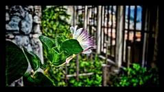 Flower HDR (Markus Lenhart) Tags: italien italy holiday museum photoshop pentax urlaub sigma limone hdr markus topaz adjust gardasee lenhart photomatrix