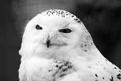 "Snow Owl • <a style=""font-size:0.8em;"" href=""http://www.flickr.com/photos/62284930@N02/7138466989/"" target=""_blank"">View on Flickr</a>"