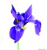Siberian Blue Iris (Annette LeDuff) Tags: blue flower macro nature flora foof ohno siberianiris favorited blueblueblue coth floralfantasy bej fantasticnature perfectpetals flickrhearts photosandcalendar superhearts flowersarebeautiful bluebyyou floraandfaunaoftheworld fabuleuse blueflowersonly mimamorflowers therubyawards flickrsawesomeblossoms theeliteofflickrsawesomeblossoms flickrflorescloseupmacros panoramafotografico lapetitegalerie thebestofmimamorsgroups unforgettableflowers myspecialgallery faunaandfloragroup coth5 keepyoureyesopenayezloeil beautifulfloras perfectpetalsprestigiousgroup floraaroundtheworld ruby10 notanotherflower ruby5 photoannetteleduff annetteleduff katiesflowerbox level1autofocus level2autofocus level3autofocus awesomelycreativeforedinei includedingalleries perfectpetalsexquisitegroup katiesflowerbasket magicmomentsinyourlifelevel1 ourwonderfulandfragileworld madaboutflowers katiesflowerstall 06202012 passionforflowerslevel1red