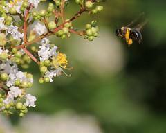 Bumblebee (AndyM.) Tags: nature canon southcarolina travelersrest 60d fbdg 55250mm bestcapturesaoi mygearandme mygearandmepremium blinkagain blinkagin