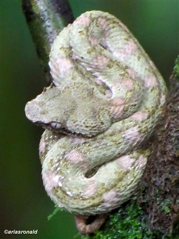 Bocaracá (Bothriechis schlegelii)