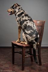 In Celebration of his Spots (MARTYr Photography) Tags: california june losangeles 2012 hogdog cur catahoula pocketwizard britekhs1000 leoparddog canoneos40d canonef35105mmf3545 louisianastatedog