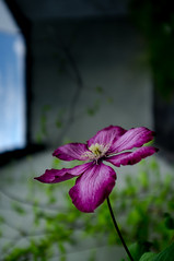 what's the name of this flower? ([bruno raffa]) Tags: flower fuji name clematis finepix fujifilm x100 wwwbrunoraffach