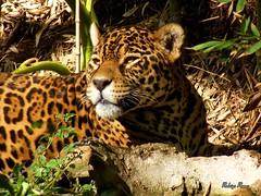 Frente a frente com a fera (Rohdrygo) Tags: park parque brazil nature brasil cat zoo leopardo big exposure natura shutter felino brazilian fujifilm riograndedosul brasile fera ona exposio gramado obturador flickrbigcats gramadozoo