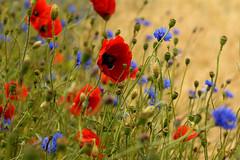 Poppies & Corn Flowers (mattrkeyworth) Tags: flower field zeiss germany island deutschland feld insel poppy poppies rügen ostsee cornflower mecklenburgvorpommern mohn cornflowers kornblumen ostseeküste ostseeinsel sal85f14z planart1485 mattrkeyworth poppiesandcornflowers