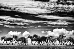 In the long run - Icelandic horses (Gulli Vals) Tags: horses long run icelandic hestar hestur dli folald vidal gullivals