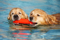 Murphy & Finley (Tom_Morris Photos) Tags: dog goldenretriever golden