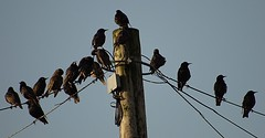 Starlings Sing At Sunrise. Taken with Panasonic G2 + Tokina 60-300mm f4-5.6, effective 600mm/f4, handheld (Sang3eta) Tags: sunrise panasonic tokina g2 starlings 600mm f456 60300mm szx