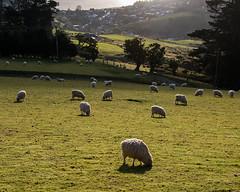 Dessine-moi un mouton! Draw me a sheep! (Ian@NZFlickr) Tags: light backlight triangle shadows sheep otago soc peninsula grazing ewes