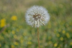 One in a Million (throughthineeyes) Tags: flower green weeds dandelion yellowflowers dandelions greengrass wishingflower