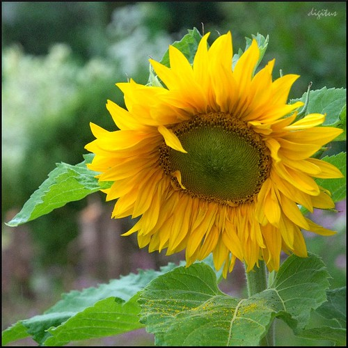 Sonnenblume im Regen / Sunflower in the Rain