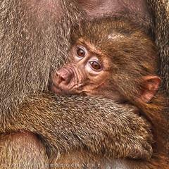 Baby Monkey (ZiZLoSs) Tags: ca baby canon turkey photography eos monkey zoom photographers kuwait hdr 400mm abdulaziz 600d zizloss almanie abdulazizalmanie