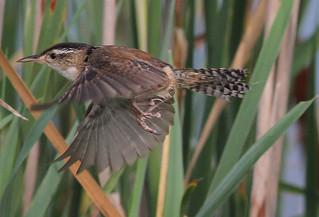 Marsh Wren In Flight