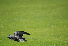 14 08 57 Graves Park Sheffield 23 July '12 131 (Roger Bunting) Tags: bird sheffield places crow corvid southyorkshire