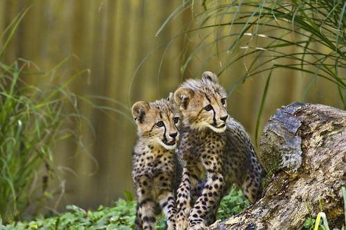 Cheetah_Cubs_6165