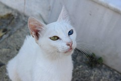 Greek cat (chatvivant) Tags: white nature animals cat eyes different greece lefkas lefkada