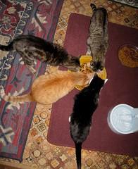 My kids, eating supper (Hairlover) Tags: public ginger kitten tabby kitty kittens kitties threeleggedcat agedcat allcatsnopeople 22yearoldcat